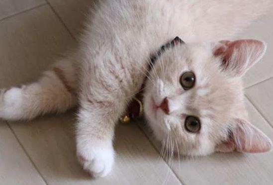 Kucing MixDome, Ras Campuran Yang Populer Jadi Peliharaan